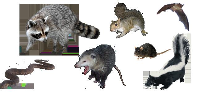 Nashville Wildlife Removal - Opossum, Skunk, Squirrel